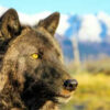 alaska wildlife sanctuary wolf lothario