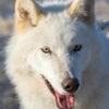 alaska wildlife sanctuary wold dirus