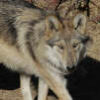 california wolf center emma frost