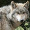 california wolf center m1782