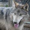 california wolf center m1783