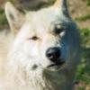california wolf center poppy