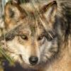 california wolf center thor