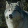 california wolf center yana
