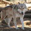 Lockwood Animal Rescue Center wolf big boy