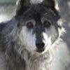 Lockwood Animal Rescue Center Wolf blade
