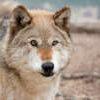 Lockwood Animal Rescue Center Wolf bronco billy