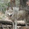 Lockwood Animal Rescue Center Wolf danny boy