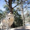 Lockwood Animal Rescue Center Wolf harmony