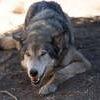 Lockwood Animal Rescue Center Wolf huey