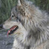 Lockwood Animal Rescue Center Wolf kona
