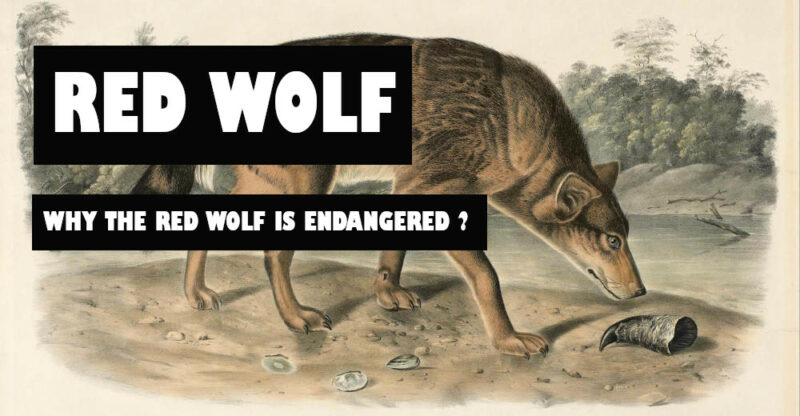 Why the red wolf is endangered article picture
