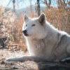 wolf connection ayasha