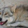wolf mountain sanctuary balto
