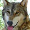 wolf mountain sanctuary denali