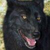 wolf mountain sanctuary takaani
