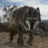 wolf mountain sanctuary wacipi
